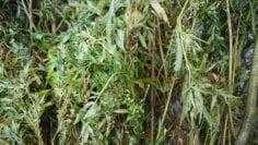 destruyen-plantio-de-marihuana-en-hostotipaquillo-jalisco-696×465.jpg
